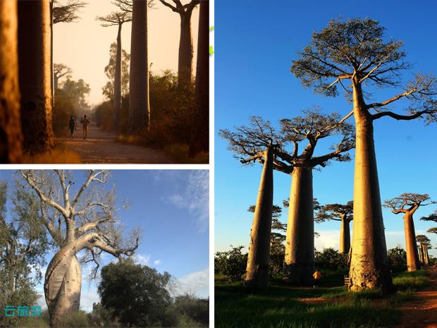 加斯加猴面包树