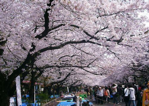 又是一年樱花季,武汉大学校园以樱花最为有名,有樱花城堡、樱花大道、樱顶、珞珈广场等相关景点。每年春季3月中旬,樱花盛开的时候,武汉大学校园都会吸引数百万的游客前来赏花。校园内有种子植物120科、558属、800多种,其中属于珍稀濒危的植物有11科17种,古树名木13株;此外,还有大量小灌木、野生花卉、药用植物和岩生植物,如盘龙参、紫芝、海金沙、金鸡菌、挖耳草、江南毛莨等,珞珈山被誉为全国树木园。拥有多种国家一级保护树种的武汉大学校园是中国植物学会植物园分会成员。