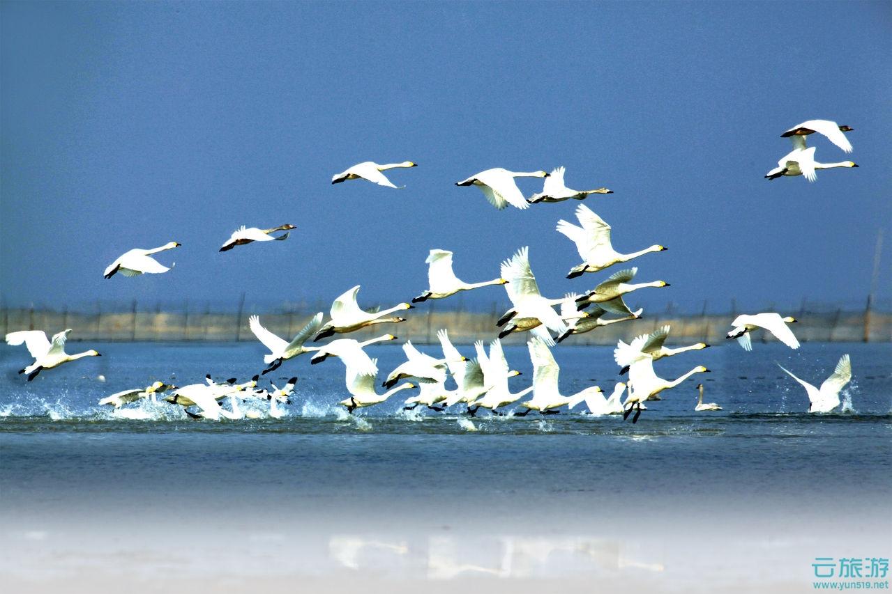 """在鄱阳湖的东岸,拥有着中国最大的淡水湖和湿地公园,它就是世界六大湿地之一鄱阳湖国家湿地公园。鄱阳湖国家湿地公园是亚洲湿地面积最大、湿地物种最丰富、湿地景观最美丽、湿地文化最厚重的国家湿地公园。鄱阳湖烟波浩淼,气势磅礴,公园内河流众多,溪水蜿蜒,农田蔓延,芦苇片片。湖光山色,景色幽静,环境优雅,空气清新,溶山水之灵气于一方,汇自然与人 文为一体。鄱阳湖国家湿地公园内集湿地文化、候鸟文化、农耕文化、饮食文化等人文景观资源于一体,形成了融多种风格文化景观为一体的湿地旅游景观。  鄱阳湖国家湿地公园拥有全世界最美丽的湿地景观,最密集的湖,鄱阳湖县全县有大小1067个湖泊;最多姿的水,丰水季节,水天一色、浩浩荡荡、横无际涯、烟波浩渺、气势磅礴、波光粼粼、帆影点点,却正是""""落霞与孤鹜齐飞,秋水共长天一色""""之景;枯水季节,河湖密布、芳草过膝、一碧千里、芦花飞舞。所以它也拥有最诗意的草,秋冬季节原本鄱阳湖底水退滩出,成了一片望不到边际的江南大草原,微风 过处如一片绿波海荡漾;最温柔的荻,金黄的荻杆、雪白的荻花在阳光、绿海的衬映下摇曳成了生生之美的讯息使者;我们说天空因鸟儿而灵动,有候鸟的地方就是生态非常好的地方。鄱阳湖国家湿地公园拥有全球最豪华的鸟阵,集居着全球三大越冬鸟阵,分别是最大的白鹤、天鹅、鸿雁越冬鸟群。它们年复一年翻山越岭,穿 越极限,犹如一群守望者守护着这一湖的生态且古今同此适。  随着我国生态湿地旅游热潮的兴起,目前我国已建和拟建的湿地公园已有多处。湿地公园(Wetland Park)是指以水为主题的公园,以湿地良好生态环境和多样化湿地景观资源为基础,以湿地的科普宣教、湿地功能利用、弘扬湿地旅游文化等为主题,并建有一定规模的旅游休闲设施,可供人们旅游观光、休闲娱乐的生态型湿地主题公园。湿地公园是具有湿地保护与利用、科普教育、湿地研究、生态观光、休闲娱乐等多种功能的社会公益性生态公园。用以提供旅游休闲功能的湿地公园是国家湿地保护体系的重要组成部分,与湿地自然保护区、保护小区、湿地野生动植物保护栖息地以及湿地多用途管理区等共同构成了湿地保护管理体系。""""湿地"""",泛指暂时或长期覆盖水深不超过2米的低地、土壤充水较多的草甸、以及低潮时水深不过6米的沿海地区,包括各种咸水淡水沼泽地、湿草甸、湖泊、河流以及泛洪平原、河口三角洲、泥炭地、湖海滩涂、河边洼地或漫滩、湿草原等。发展建设湿地公园是落实国家湿地分级分类保护管理策略的一项具体措施,也是当前形势下维护和扩大湿地保护面积直接而行之有效的途径之一。发展建设湿地公园,既有利于调动社会力量参与湿地保护与可持续利用,又有利于充分发挥湿地多种功能效益,同时满足公众需求和社会经济发展的要求,通过社会的参与和科学的经营管理,达到保护湿地生态系统、维持湿地多种效益持续发挥的目标。对改善区域生态状况,促进经济社会可持续发展,实现人与自然和谐共处都具有十分重要的意义。城市湿地旅游。城市湿地公园规划应以湿地的自然复兴、恢复湿地的领土特征为指导思想,以形成开敞的自然空间和湿地公园的定义与概念地带、接纳大量的动植物种类、形成新的群落生境为主要目的,同时为游人提供生机盎然的、多样性的游憩空间。因此,规划应加强整个湿地水域及其周边用地的综合治理。其重点内容在于恢复湿地的自然生态系统并促进湿地的生态系统发育,提高其生物多样性水平,实现湿地景观的自然化。规划的核心任务在于提高湿地环境中土壤与水体的质量,协调水与植物的关系。麻城浮桥河国家湿地公园位于鄂豫皖三省交界的大别山腹地,湖北省麻城市顺河镇境内。该湿地公园为湖北省知名的国家湿地公园,湿地公园总面积94平方公里,为中国面积最大的湿地公园之一。中国国内湿地旅游。国家级湿地公园:湿地公园的主题突出,湿地生态环境优良、湿地景观特别优美,观赏、科学、文化价值高,地理位置特殊,对区域生态环境具有重要的调节作用,且生态旅游服务设施齐全;省级湿地公园:湿地公园的主题突出,且湿地生态环境良好、湿地景观有特色,有一定的观赏、科学、文化价值,对区域生态环境有一定的调节作用,且具备必要的旅游服务设施。15个正式授牌的国家湿地公园:黑龙江省【2】安邦河国家湿地公园,白渔泡国家湿地公园;江苏省【6】泰州溱湖国家湿地公园,苏州太湖国家湿地公园,扬州宝应湖国家湿地公园,无锡梁鸿国家湿地公园,扬州凤凰岛国家湿地公园,兴化里下河核心区国家湿地公园;浙江省【1】杭州西溪国家湿地公园;江西省【1】东鄱阳湖国家湿地公园;重庆市【1】彩云湖国家湿地公园;陕西省【1】千湖国家湿地公园;宁夏回族自治区【2】银川国家湿地公园,石嘴山星海湖国家湿地公园;甘肃省【1】张掖国家湿地公园;福建省【1】长乐市闽江河口湿地公园。其它重要湿地公园:北京野鸭湖国家湿地公园,江苏扬州凤凰岛国家湿地公园,新疆赛里木湖国家湿地公园,内蒙古白狼"""